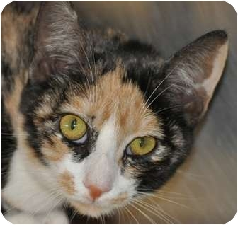 Calico Cat for adoption in Tucker, Georgia - Sally