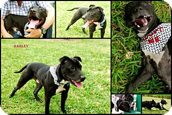 Labrador Retriever/American Bulldog Mix Dog for adption in hollywood, Florida - Harley