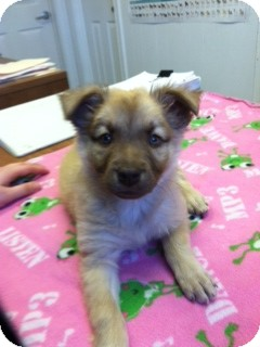 Australian Shepherd/Shepherd (Unknown Type) Mix Puppy for Sale in Granbury, Texas - Mocha