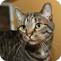 Domestic Shorthair Cat for Sale in Albany, New York - Skippy