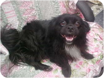 Pekingese/Pomeranian Mix Dog for Sale in Cathedral City, California - Ceaser
