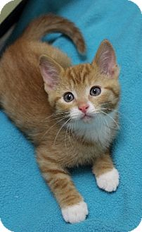 Domestic Shorthair Kitten for Sale in Chicago, Illinois - Finbar