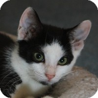 Domestic Shorthair Kitten for Sale in Albany, New York - Tierney