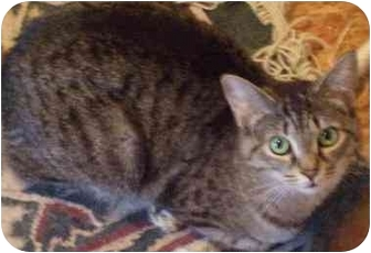 American Bobtail Cat for adoption in Danville, Kentucky - Wendy