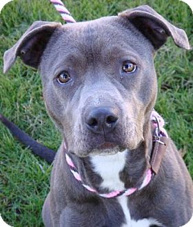 American Pit Bull Terrier Mix Dog for Sale in Red Bluff, California - Velvet-URGENT-$45 adoption fee