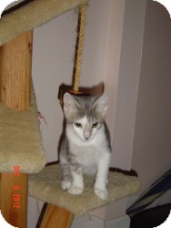 Domestic Shorthair Cat for adoption in Medford, New Jersey - Fester (Cindy's kitten)