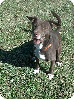 American Pit Bull Terrier/Labrador Retriever Mix Dog for Sale in Rising Sun, Indiana - Francis - NORTH VERNON, IN