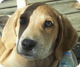 Black and Tan Coonhound/Hound (Unknown Type) Mix Puppy for Sale in Conway, Arkansas - Wiggles