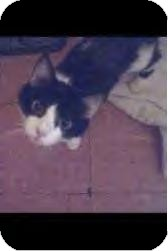 Domestic Shorthair Cat for Sale in Youngstown, Ohio - Gimperella ~ Adoption Pending