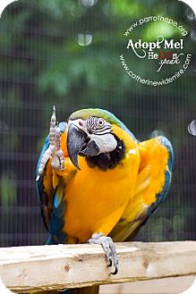 Macaw for adoption in Mantua, Ohio - BELLA