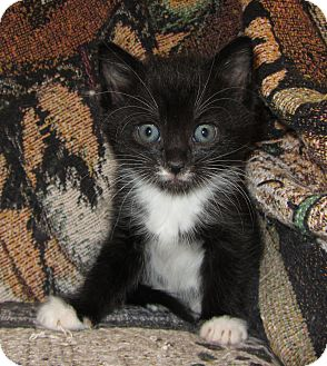 Domestic Mediumhair Kitten for Sale in Richfield, Ohio - Hope's Litter