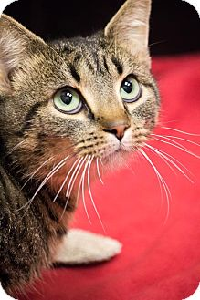 Domestic Shorthair Cat for Sale in Chicago, Illinois - Boo Radley
