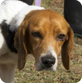 Beagle Mix Dog for Sale in Gainesville, Florida - Kirby