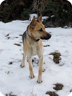German Shepherd Dog Mix Dog for adption in Seattle, Washington - Minx - Gorgeous Girl