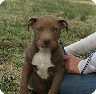 American Pit Bull Terrier/American Bulldog Mix Puppy for Sale in Glastonbury, Connecticut - Atticus~meet me~