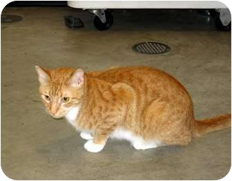 Domestic Shorthair Cat for adoption in Elfers, Florida - Scottie