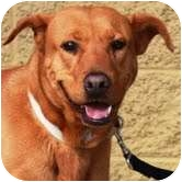 Labrador Retriever Mix Dog for adption in Gilbert, Arizona - Brownie