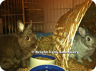 Netherland Dwarf Mix for adoption in Rockville, Maryland - Emily&Cisero