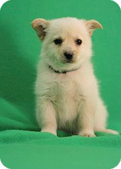 Pomeranian/American Eskimo Dog Mix Puppy for Sale in Broomfield, Colorado - Nilla