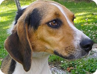 Beagle Mix Dog for Sale in Brookville, Indiana - Hunter