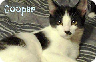 Domestic Shorthair Kitten for Sale in Simi Valley, California - Cooper