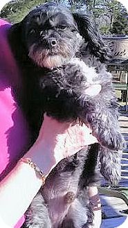 Shih Tzu/Poodle (Miniature) Mix Dog for Sale in Madisonville, Tennessee - Lucas