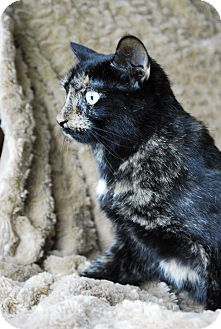 Domestic Shorthair Cat for adoption in Columbus, Ohio - Scarlett