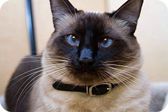 Siamese Cat for Sale in Irvine, California - Peyton
