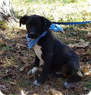 Border Terrier/Labrador Retriever Mix Puppy for Sale in Brattleboro, Vermont - Hamhock (In New England)