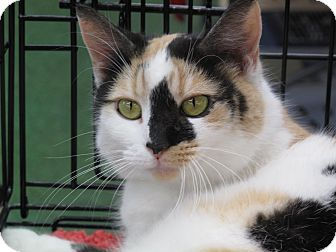 Calico Cat for Sale in Port Republic, Maryland - Sparkles
