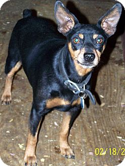 Miniature Pinscher Dog for Sale in Niagra Falls, New York - Gonzo