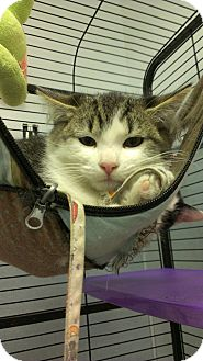 Domestic Mediumhair Kitten for adoption in Richboro, Pennsylvania - Coolio