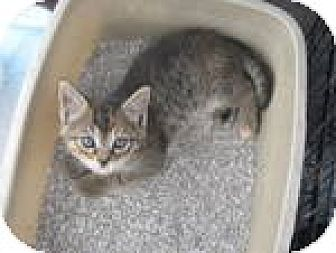 Domestic Shorthair Kitten for adoption in Netcong, New Jersey - Tiffany