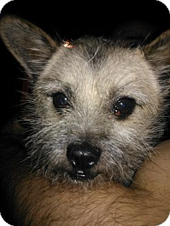 Glen of Imaal Terrier/Cairn Terrier Mix Dog for Sale in Puyallup, Washington - Mongo