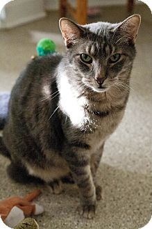 Domestic Shorthair Cat for adoption in Chicago, Illinois - Grayson