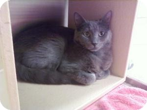 Russian Blue Cat for Sale in Fort Lauderdale, Florida - Angel