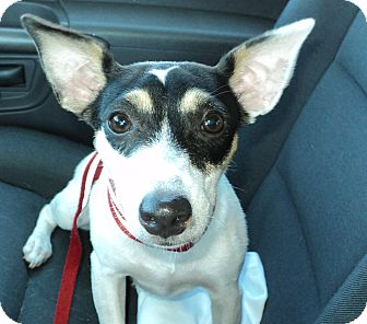 Jack Russell Terrier/Rat Terrier Mix Puppy for adption in Hollywood, Florida - Dixie