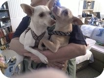 Chihuahua/Terrier (Unknown Type, Small) Mix Dog for Sale in Phoenix, Arizona - Chico - Only $25 adoption fee!