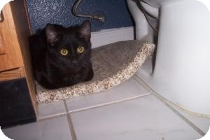 Domestic Shorthair Cat for adoption in Tempe, Arizona - Coal