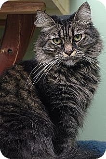 Maine Coon Cat for adoption in Auburn, California - Truffle