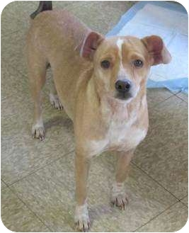 Jack Russell Terrier/Chihuahua Mix Dog for adption in Lodi, California ...