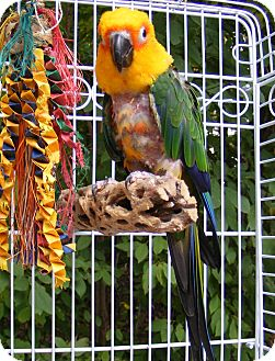 Conure for adoption in Mantua, Ohio - JAZZ