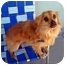 Photo 2 - Pomeranian/Chihuahua Mix Dog for adoption in Los Angeles, California - RIGGS
