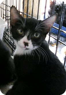 Domestic Shorthair Kitten for adoption in Mesa, Arizona - Smudgy