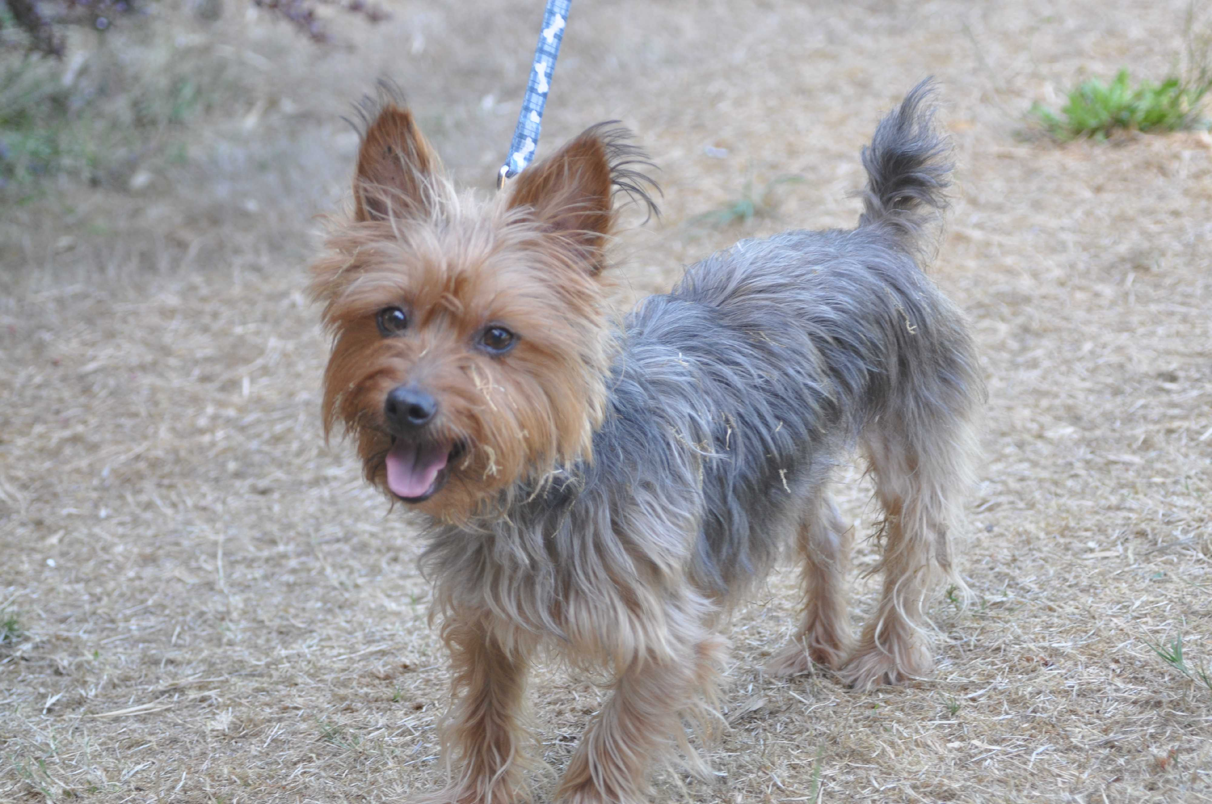 Pictures of yorkie terrier mix M - a new way to shop for fashion
