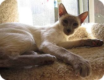Siamese Cat for Sale in Vacaville, California - Lila