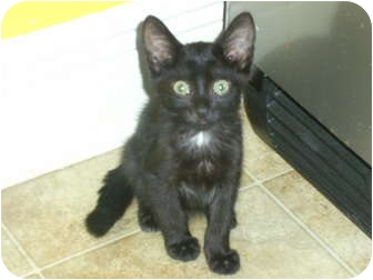 Domestic Shorthair Kitten for Sale in Mobile, Alabama - Cher