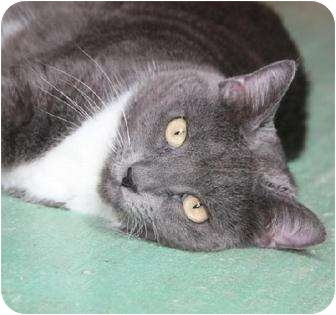 Domestic Shorthair Cat for adoption in Metairie, Louisiana - Carmen