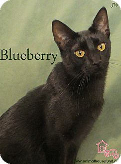 Domestic Shorthair Cat for Sale in St Louis, Missouri - Blueberry