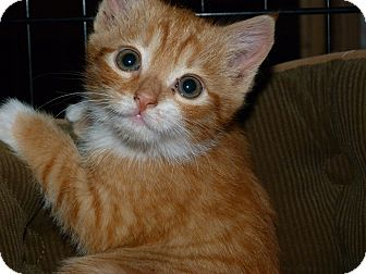 Domestic Shorthair Kitten for Sale in Stafford, Virginia - Freddie